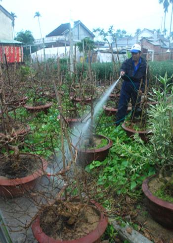Vai trò của nước tưới đối với sự phát triển của mai tết