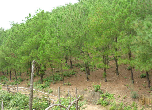 Cơ quan chức năng khuyến cáo người dân hạn chế vào rừng thông, nếu vào rừng thì cần phải mang theo áo quần bảo hộ lao động. ảnh: Nguyên Khoa
