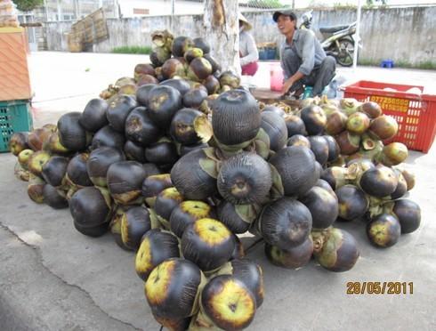 Quả thốt nốt to bằng quả dừa xiêm.