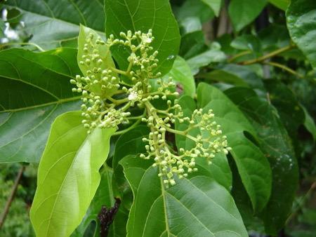 Hiện nay trên thị trường đã có sản phẩm Hamega lần đầu tiên khai thác tác dụng bảo vệ gan và đường tiêu hóa của cây Vọng cách, sử dụng cho các đối tượng nam giới uống nhiều bia rượu