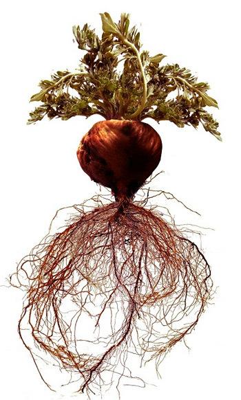 Lepidium Meyenii là thảo dược quý có trong Sâm Angela giúp não bộ - tuyến yên - buồng trứng duy trì tốt hoạt động.