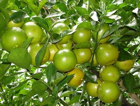 Quýt đường là một đặc sản trái cây nổi tiếng của tỉnh Trà Vinh. Quýt đường được trồng nhiều ở làng Long Trị và vài nơi khác.