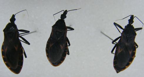 Ba con bọ xít bắt được ở Quy Nhơn. Ảnh: Minh Minh.