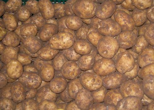 Khoai tây Đà Lạt thường bị trầy xước vì vỏ mỏng. Ảnh: Quốc Dũng.