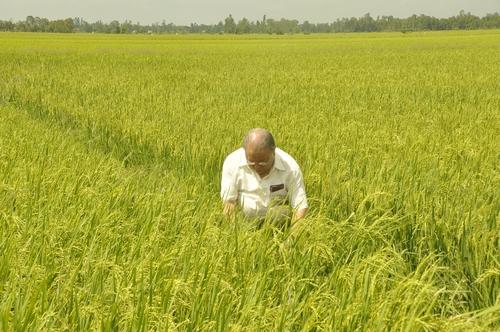 Giáo sư Võ Tòng Xuân đang làm việc trên cánh đồng lúa sạch. Ảnh do tác giả gửi.