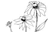 Tranh tô màu 'Cành hoa cúc'
