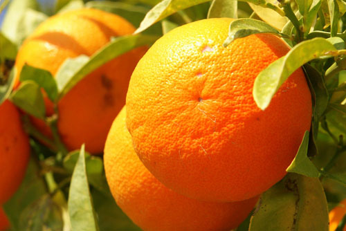 Orange-Frucht-fruit-Cyprus-PICT8063-1377