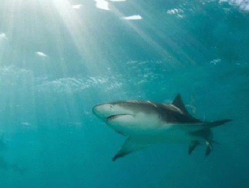 Ảnh. Kháng thể IgNAR trong máu cá mập là cơ sở cho việc tìm ra một phương pháp chữa trị ung thư vú mới. (cbs12.com)