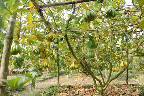 Một cây khỏe mạnh cho thu hoạch trên 40 quả phật thủ. Ảnh: Hoàng Phương.