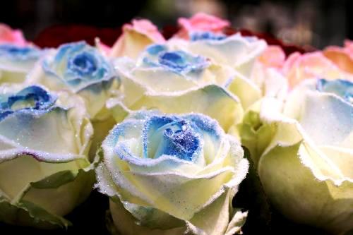 Hoa hồng tuyết (Snowy roses) được xử lý