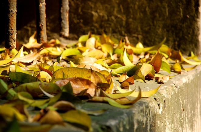 Những thảm lá vàng cuối mùa xuân Hà Nội