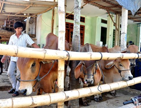 21 5 Anh 2 Cho bo 6890 1400658208 Đến thăm khung cảnh chợ buôn bò ven quốc lộ tại Quảng Ngãi