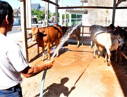 21 5 Anh 4 Cho bo 3433 1400658208 Đến thăm khung cảnh chợ buôn bò ven quốc lộ tại Quảng Ngãi