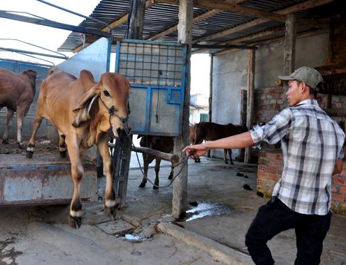 21 5 Anh 9 Cho bo 7812 1400658209 Đến thăm khung cảnh chợ buôn bò ven quốc lộ tại Quảng Ngãi