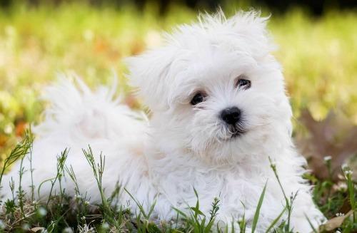 maltese-puppy-1-4896-1414055087.jpg
