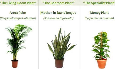3 loại cây trồng giúp thanh lọc không khí trong nhà