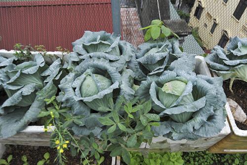 Vườn rau quanh năm xanh tốt trên sân thượng