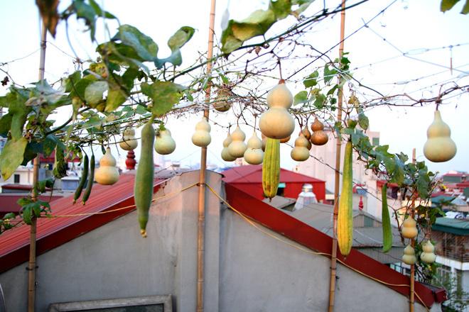 Giàn bầu hồ lô trĩu quả trên sân thượng