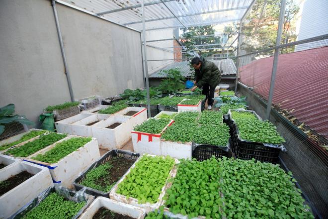 Vườn rau ngắn ngày gọn gàng trên sân thượng