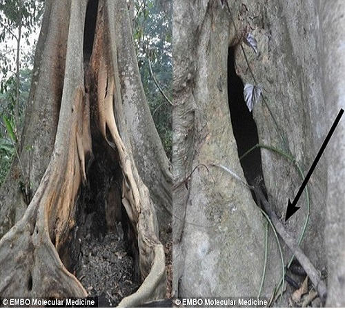 Hốc cây lớn nơi đàn dơi không đuôi sinh sống được cho là nguồn lây lan virus Ebola, gây ra đợt dịch khủng khiếp nhất trong lịch sử. Ảnh: news24.org.uk