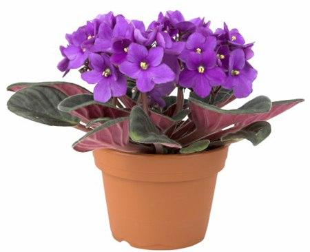 hoa-Violet-7268-1420340219.jpg
