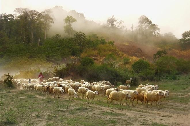 Đàn cừu thong dong trên một ngọn núi hoang sơ bạt ngàn ở Phan Rang.