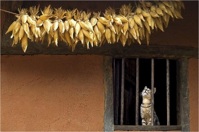 Chú mèo chăm chú dõi theo con mồi trong một ngôi làng ở vùng núi tỉnh Kon Tum, Tây Nguyên.