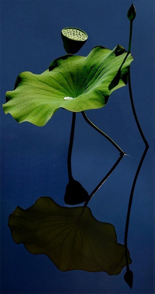 Bông sen soi bóng xuống mặt hồ tạo nên một hiệu ứng đối xứng hoàn hảo.