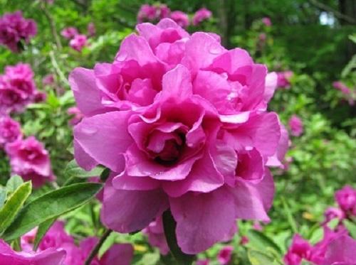 Hoa đỗ quyên giúp chống viêm, giảm ngứa.
