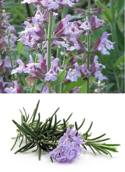 Xô thơm giúp khử trùng, làm se, chống viêm sưng. Hương thảo là thảo dược kỳ diệu trong việc chữa viêm, sưng.