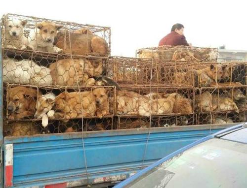 153 chú chó được giải cứu khi đang trên đường vận chuyển tới các lò mổ ở Trung Quốc, trong số đó có rất nhiều con vẫn đeo vòng tên ở cổ.  Ảnh: Tổ chức Nhân đạo Quốc Tế - Liên minh bảo vệ chó châu Á.