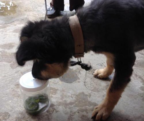 Cứu sống chú chó bị rắn lục đuôi đỏ cắn vào mặt