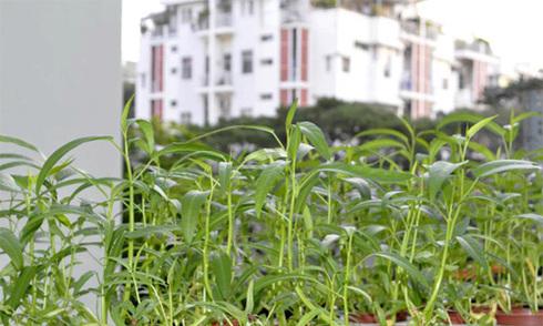 Những vườn rau xanh tốt trên sân thượng, ban công