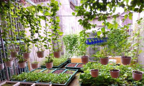 Khu vườn gọn gàng với rèm mồng tơi xanh mướt