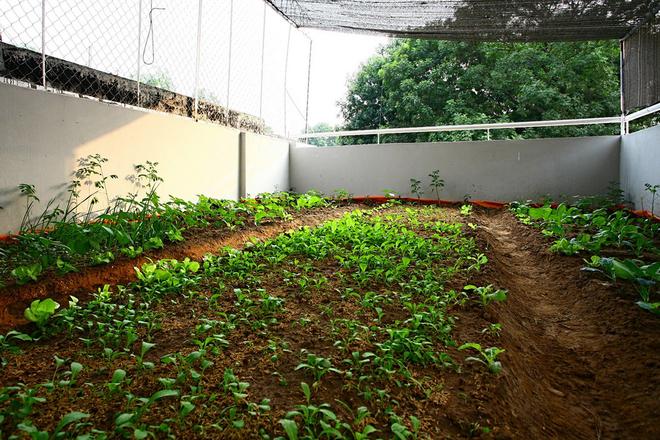 Trong rau tren mai 14 1442994972 660x0 Ngỡ ngàng nhà phố đổ đất trên mái trồng rau