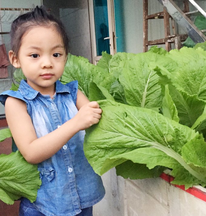 Vườn rau cải sân thượng có lá to hơn mặt người