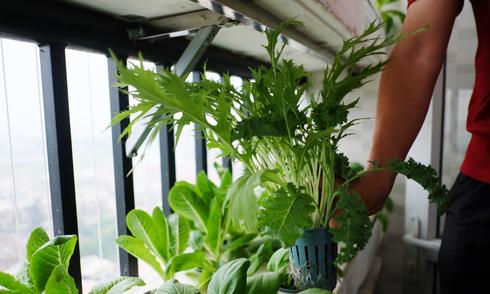 Vườn rau 2 m2 ở Hà Nội thu hoạch sau 20 ngày trồng