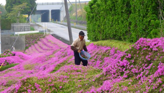 Cụ ông Nhật trồng vườn hoa khổng lồ để người vợ mù ngửi hương thơm