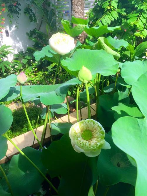 Hồ sen trắng giữa vườn của gia đình Quyền Linh