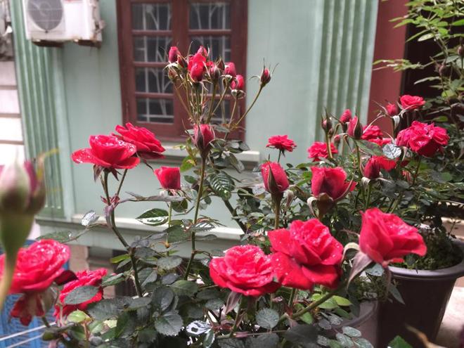 Ngôi nhà hoa hồng của biên tập viên truyền hình ở Hà Nội