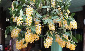 7 giò lan kiệt tác của 7 gia đình yêu hoa