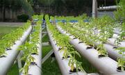 Rau trồng thủy canh có sạch hoàn toàn?