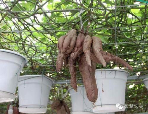 nhung-vuon-khoai-lang-luc-liu-tren-gian-5