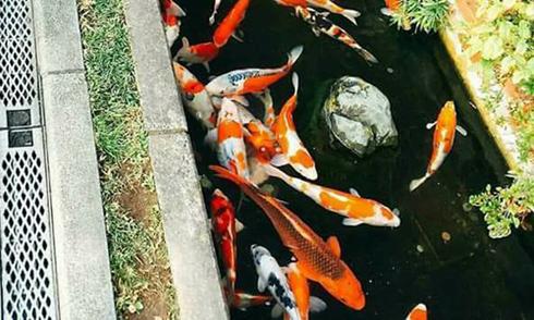 Người Nhật nuôi cá cảnh đắt tiền trong rãnh nước thải