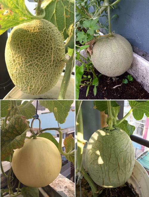Anh chồng Sài Gòn trồng vườn dưa trĩu quả trên mái tặng gia đình