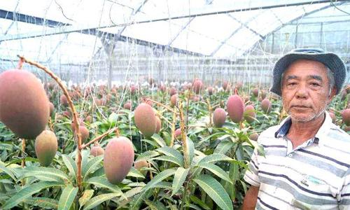Cây xoài 'vỡ kế hoạch' cho 800 quả ở Nhật