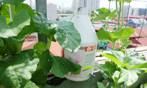 6 mẹo đuổi sâu bọ, cây sai trái của các chủ vườn nhà phố