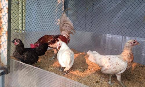 Để có chục kg thịt gà, sân thượng nhà tôi hôi hám nửa năm