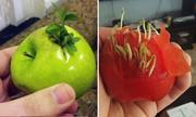 Trái cây chưa kịp ăn đã nảy mầm chi chít