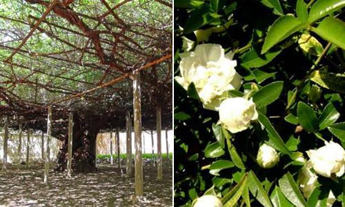Cây hoa hồng phủ tán rộng như sân bóng, nở kín hoa